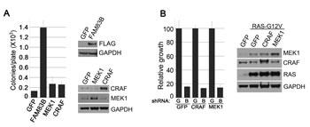 Constitutive CRAF/MEK signaling fails to transform HMEC.