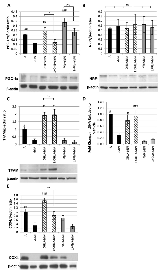 Δ9-THC but not pioglitazone induces mitochondrial biogenesis.