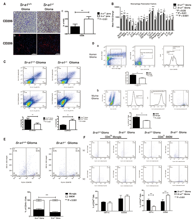 SR-A1 deficiency stimulates infiltration and polarization of M2-like BMDMs in murine orthotopic glioma.