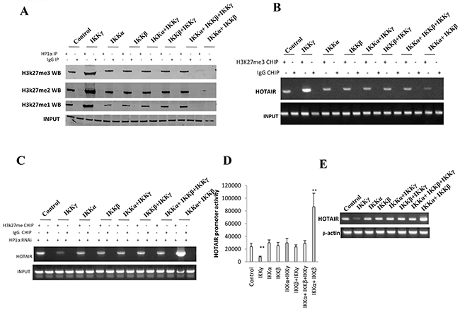 IKKα, IKKβ, IKKγ regulate HOTAIR expression dependent on H3K27me3.