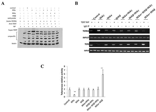 IKKα, IKKβ, IKKγ control telomerase activity.