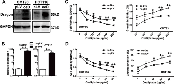 Dragon-overexpression induces the resistance of colon cancer cells to oxaliplatin in vitro.