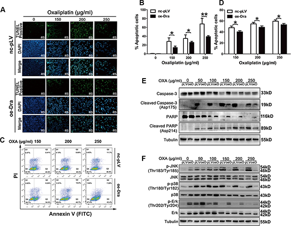 Dragon overexpression inhibits oxaliplatin-induced apoptosis in CMT93 cells.