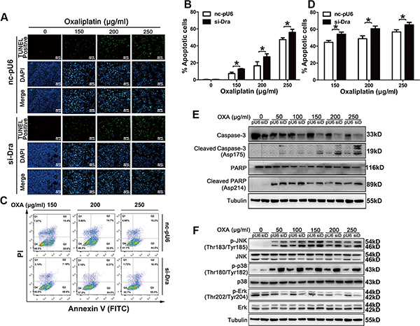 Dragon knockdown increases oxaliplatin-induced apoptosis in CMT93 cells.