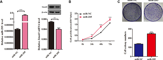 Overexpression of an miR-205 mimic inhibits NSCLC cell viability and proliferation.