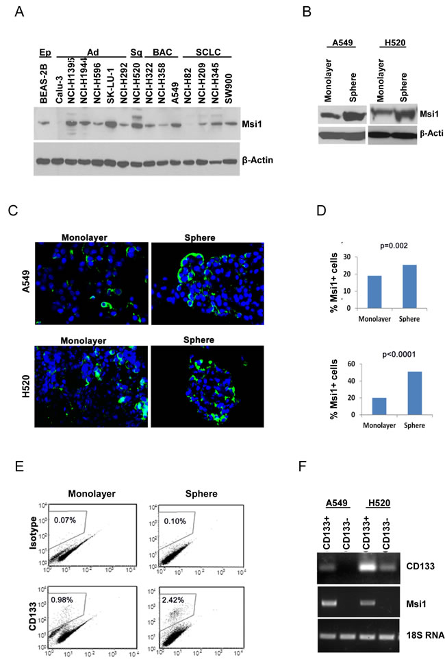 Msi1 expression is enriched in lung cancer stem/progenitor cells.