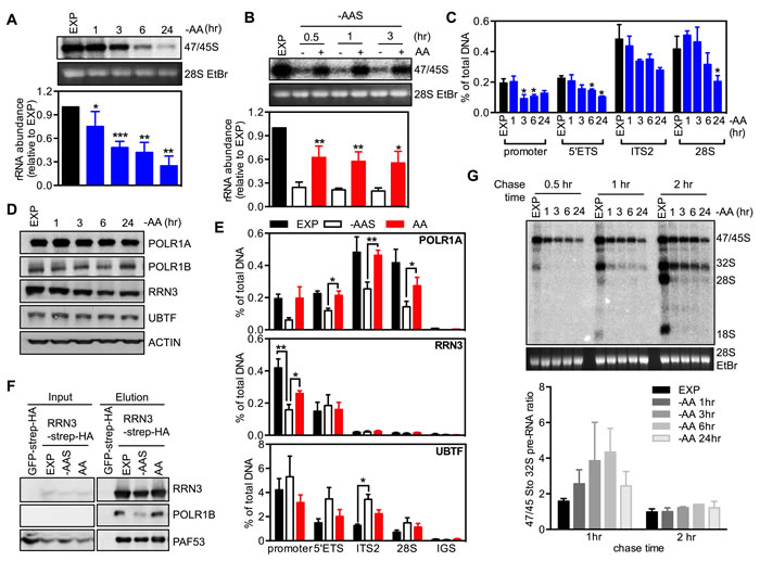Oncotarget | Amino acid-dependent signaling via S6K1 and MYC is