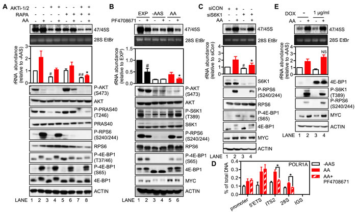 Regulation of rDNA transcription by amino acids is mediated through mTORC1 and the downstream target S6K1.