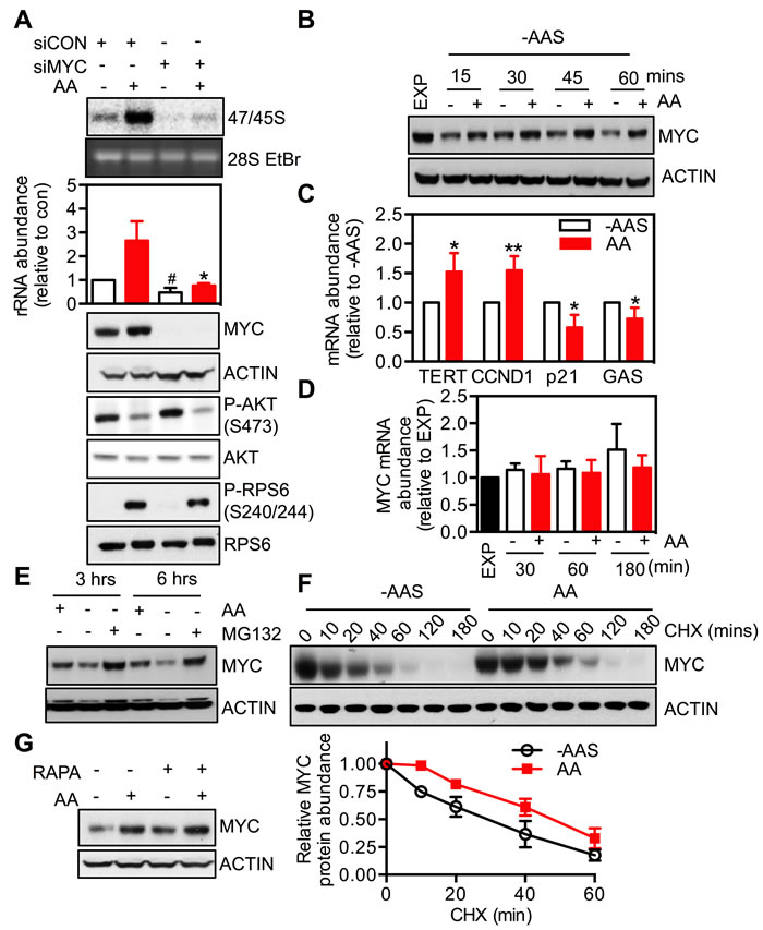 MYC is required for the response of rDNA transcription to amino acids.