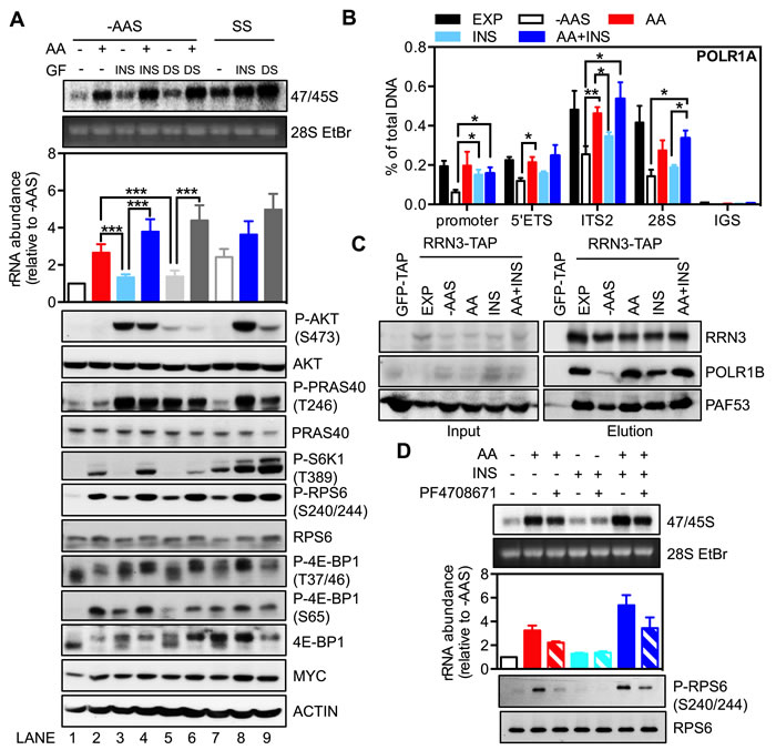 The availability of amino acids affects the response of rDNA transcription to growth factors.