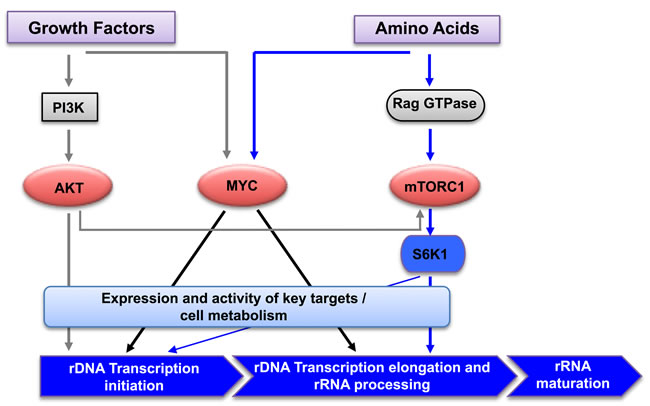 Regulation of rRNA synthesis by amino acids and growth factors.