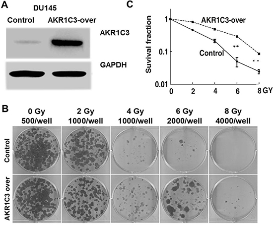 Cell-based evaluation of the role of AKR1C3 on the response of prostate cancer cells to irradiation.