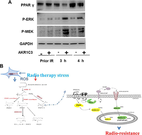 The accumulation of PGF2α activated the MAPK pathway and inhibited the expression of PPARγ.