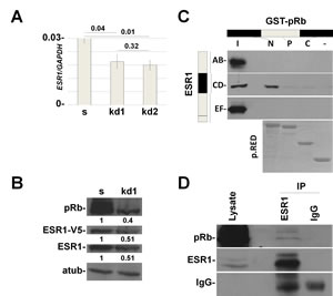 In vitro and in vivo interaction between pRb and ESR1 proteins.