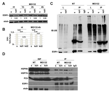 pRb is necessary for HSP90 protein to protect ESR1 from proteasomal degradation.