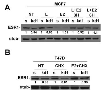 Nuclear accumulation of ESR1 prevents proteasomal degradation in RB1 kd1 cells.