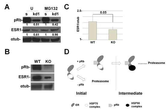 RB1 kd primary human mammary cells and Rb1 KO mice show a reduction in ESR1 protein levels.