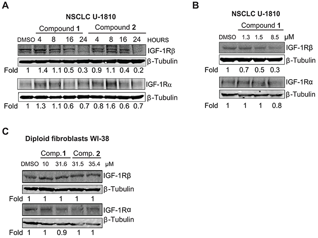 IGF-1R is depleted in NSCLC U-1810 but not in diploid fibroblasts WI-38 when treated with compounds 1 and 2.