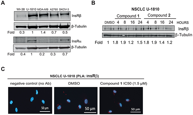 C. vasculum derived compounds cause minor effect on InsR expression in tumor cells.