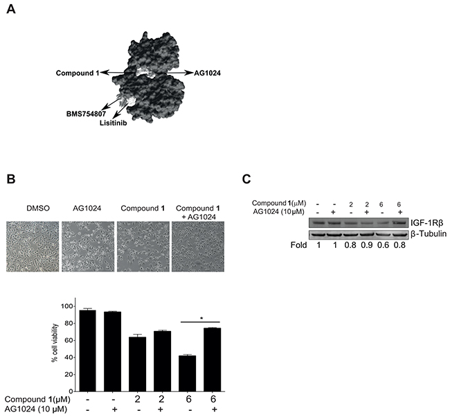 Compound 1 competes with AG1024 for binding to the IGF-1Rβ kinase domain.