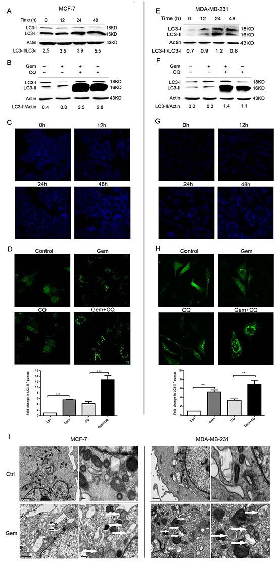 Gemcitabine induced autophagy both in ER-positive MCF-7 and ER-negative MDA-MB-231 cells.