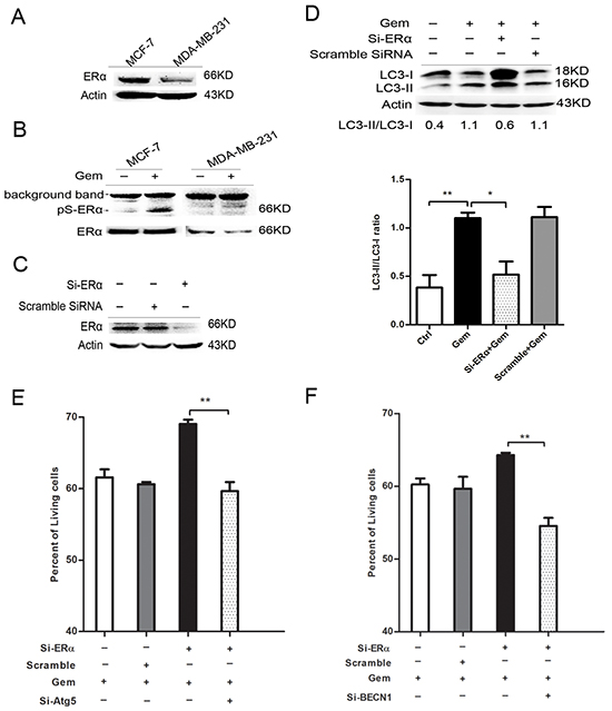 Silence of ERα diminished the gemcitabine-induced autophagy and switched the autophagy from cytotoxic mode to that cytoprotective.