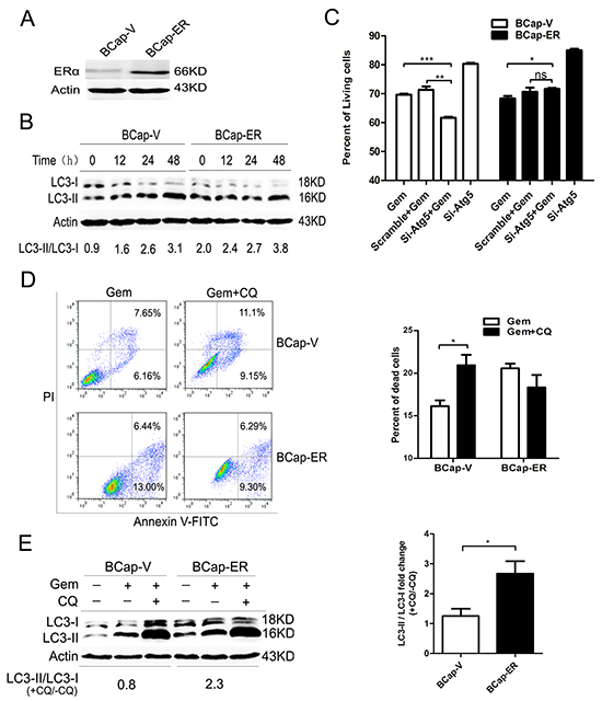 Overexpression of ERα enhanced the gemcitabine-induced autophagy and switched the autophagy from cytoprotective mode to that cytotoxic in the ER-negative BCap-37 breast cancer cells.
