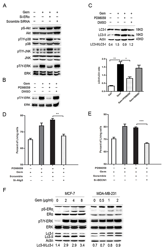 """ERK was a downstream regulator of ERα-mediated autophagic cell death and inhibition of ERK also induced the """"autophagic switch"""" in MCF-7 cells."""