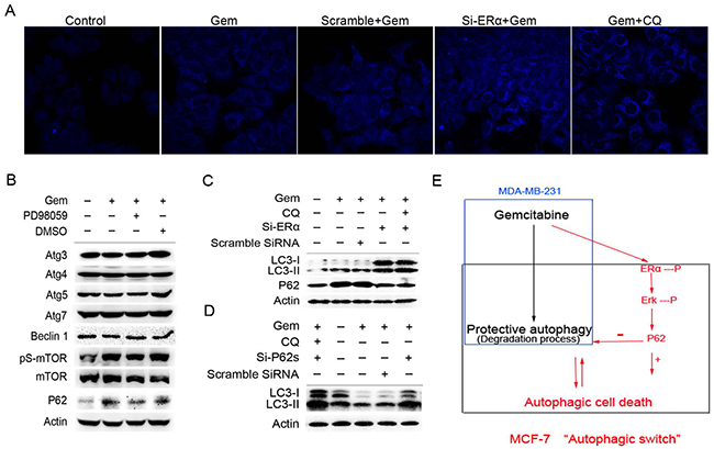 Excessive activation of the P62-mediated autophagic degradation by the phosphorylated ERα-ERK cascades may lead to the autophagic cell death induced by gemcitabine in ER positive MCF-7 cells.