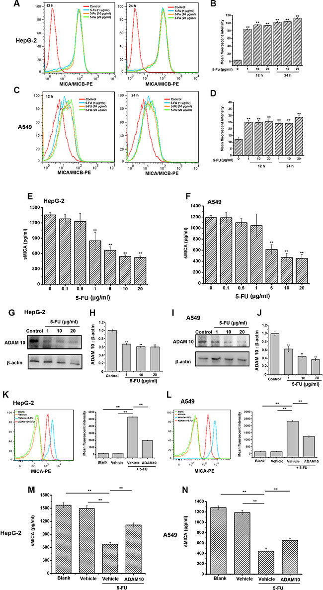 5-FU enhances and maintains the expression of membrane MICA on HepG-2 and A549 cells by preventing ADAM10 expression.