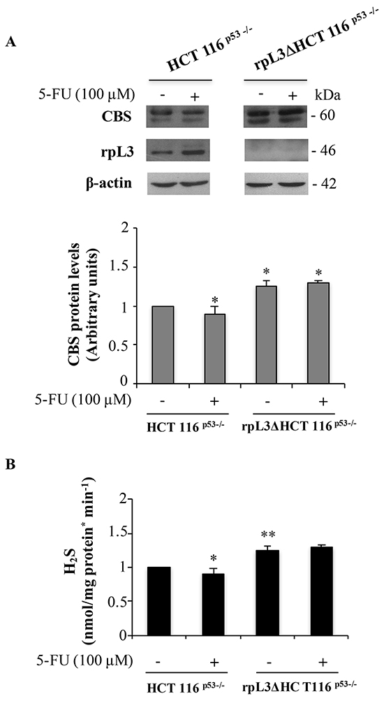 5-FU induced rpL3 down-regulates CBS expression levels and H2S production.