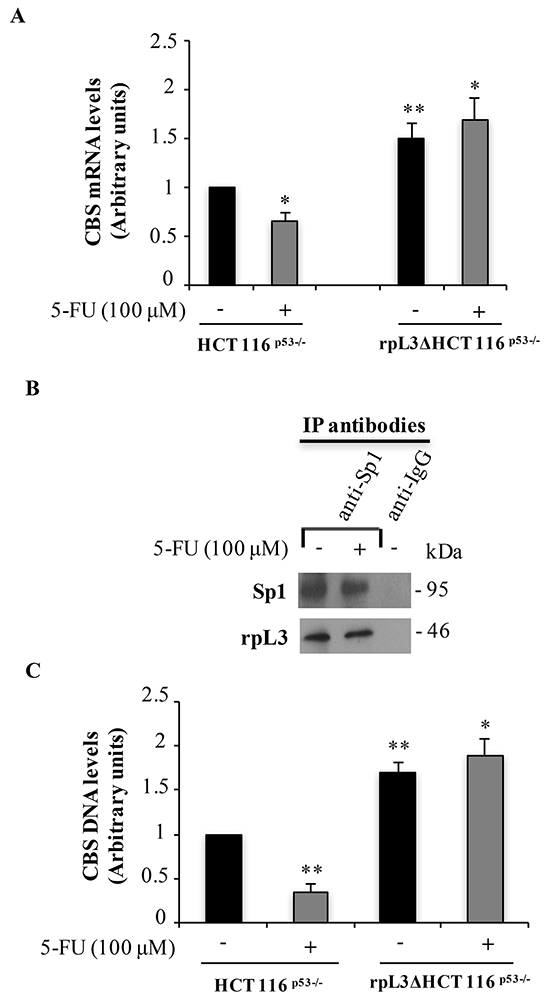 Upon 5-FU treatment, the interaction of rpL3 with Sp1 impairs its binding to CBS promoter and leads to a decrease of CBS mRNA levels.