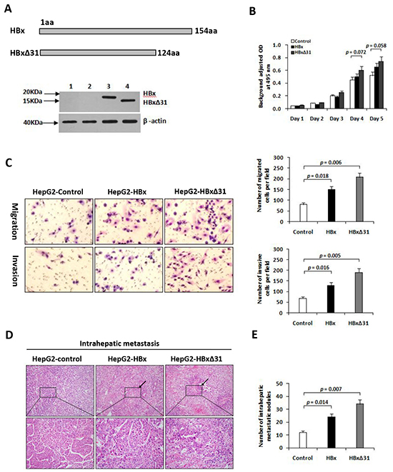 Over-expression of HBxΔ31 in HepG2 enhanced cell invasion and tumor metastasis.