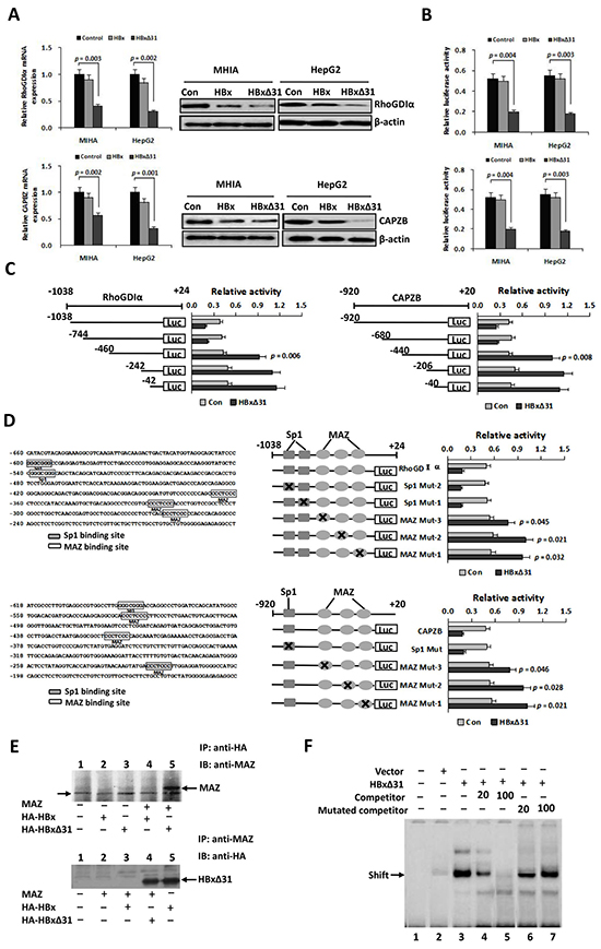 HBxΔ31 transcriptionally represses the RhoGDIα and CAPZB expressions through enhancing MAZ binding to the promoter.