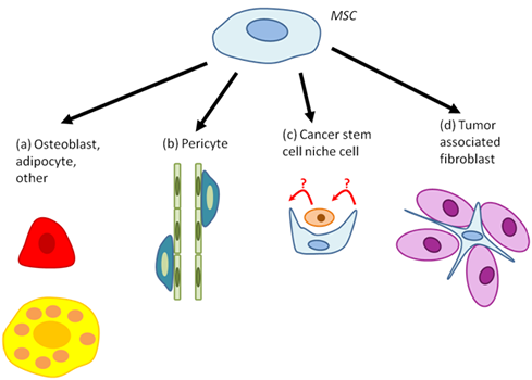MSC differentiation within tumors.