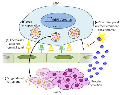 Combinatorial cancer therapy and detection using engineered exogenous MSCs.