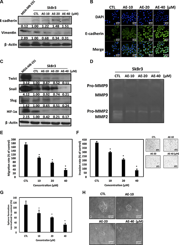 Aloe-emodin inhibited epithelial–mesenchymal transition in HER-2-overexpressing breast cancer cells.