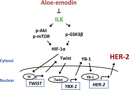 The signaling pathways of Aloe-emodin inhibits HER-2 expression.