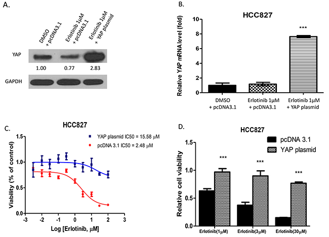 Forced overexpression of YAP in HCC827 promotes resistance to erlotinib in HCC827 cells.