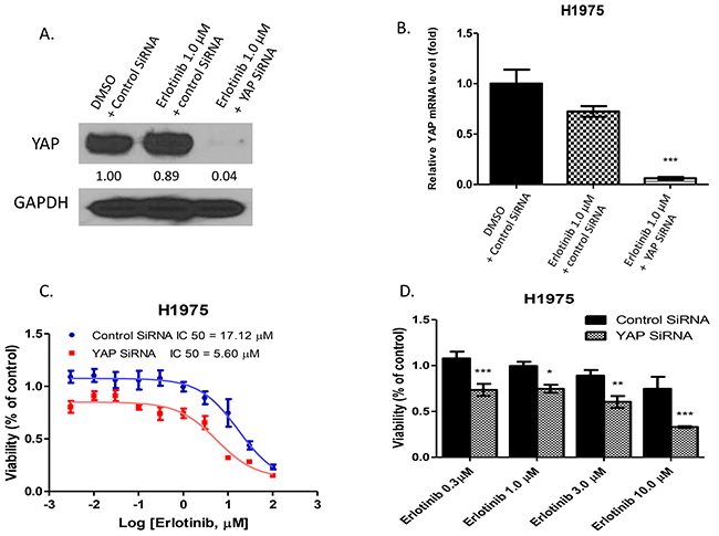 Inhibition of YAP by siRNA enhanced the cytotoxicity of erlotinib to H1975 cells.