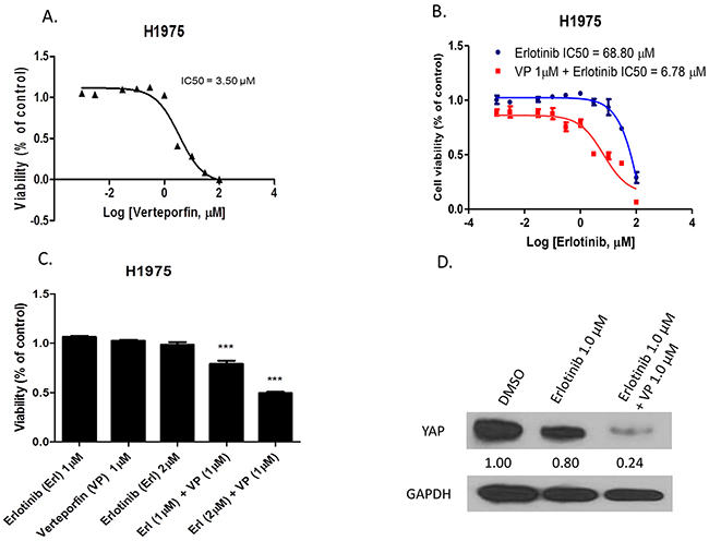 The YAP inhibitor verteporfin increased sensitivity of H1975 cells to erlotinib.