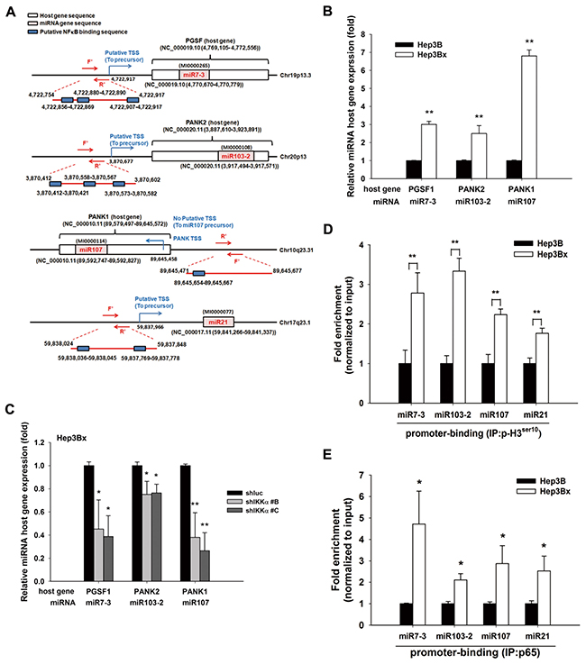 IKKα-activated NF-κB pathway transcriptional regulated HBx-mediated miRNAs and their host gene expression.