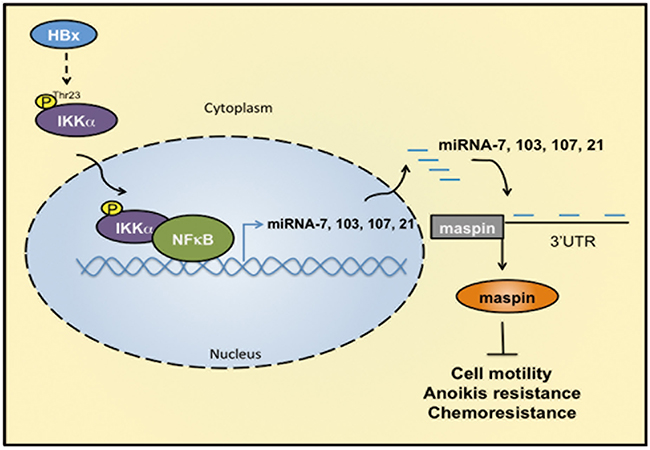 IKKα/NFκB-dependent microRNAs contribute to HBx-mediated hepatocellular tumor progression through suppression of maspin.