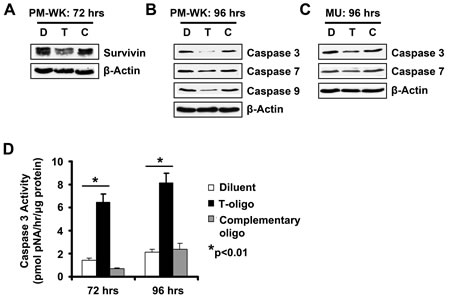 T-oligo initiates a caspase cascade in melanoma cells.