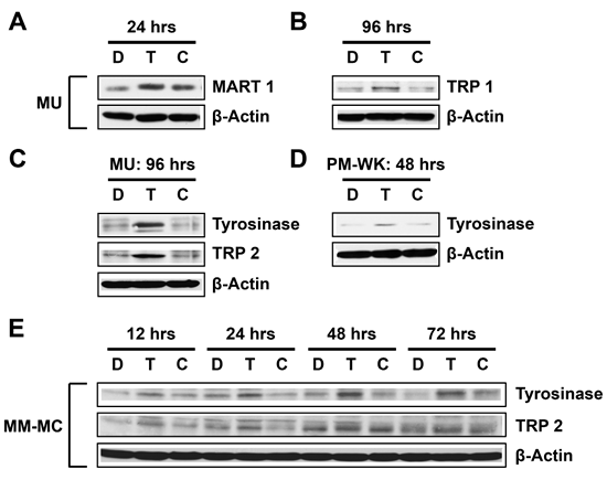 T-oligo strongly induces differentiation in multiple melanoma cell lines.