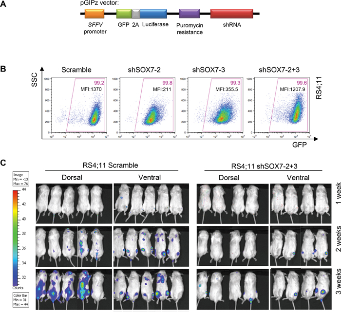 The down-regulation of SOX7 expression in BCP-ALL cells delays leukemogenesis initiation and spreading.