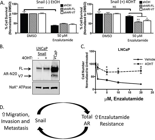 Snail-mediated enzalutamide resistance remains AR dependent.