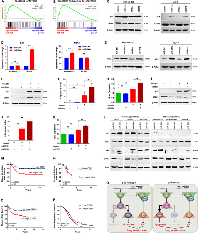 miR-644a/CTBP1-mediated wild type or mutant p53 upregulation acts as a switch on G1-arrest or apoptosis, and CTBP1 expression predicts survival of patients with p53 mutation.