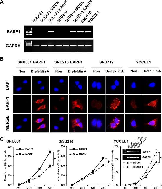 EBV BARF1 protein was mainly secreted and promoted cell proliferation.