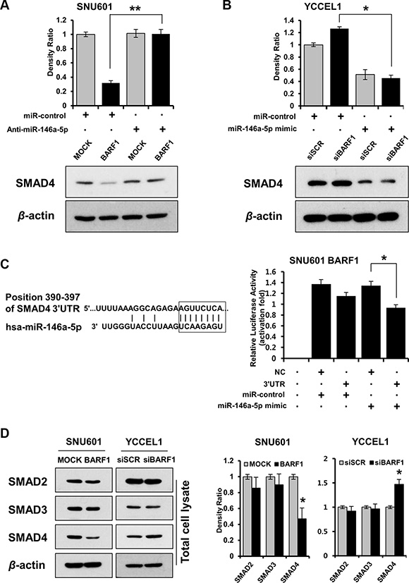 BARF1 downregulated SMAD4 in a miR-146a-5p-dependent manner, and SMAD4 was a direct target of miR-146a-5p.